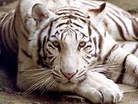 Белые тигры 19