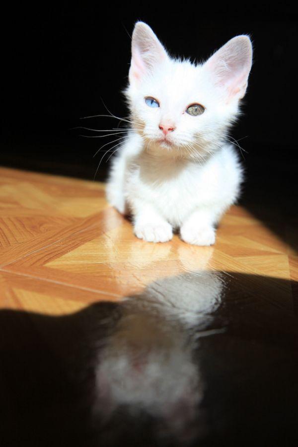 Heterochromia32 Разноглазые кошки