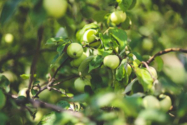 Заставляем плодоносить яблон…