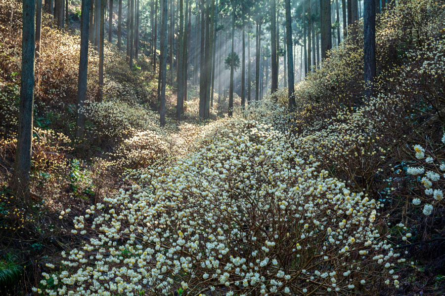 Forest where flowers of Mitsumata are blooming by Michiyoshi Akiyama on 500px.com