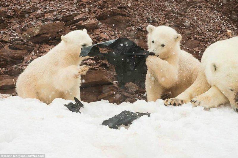 Экологи опубликовали шокирующие фото: белые медвежата играют с пластиком