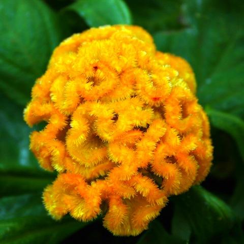 Целозия гребенчатая2 - Цветы - Фотогалерея - Ваш Прекрасный Сад