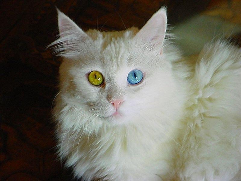 Heterochromia26 Разноглазые кошки