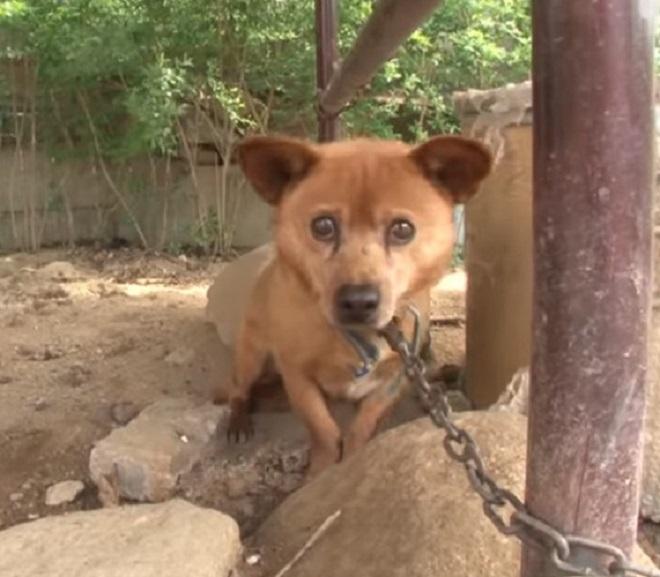 Пережив трагедию, пес на цепи перестал доверять даже хозяйке, а она по незнанию лишь навредила ему
