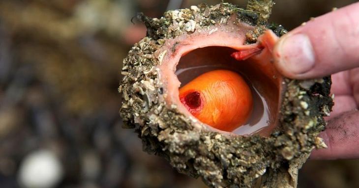 На рыбных рынках Чили можно приобрести деликатес — живые камни