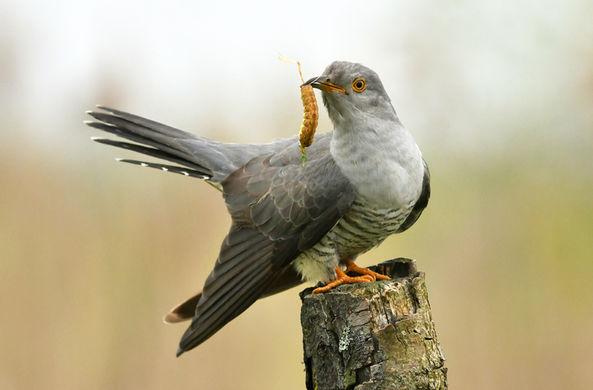 Стало известно о «подлом» приеме кукушек для обмана других птиц-родителей