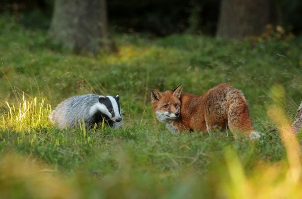 Барсук и лиса решили поиграть в чужом саду