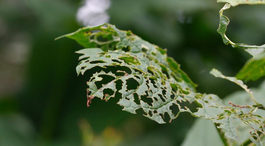 калиновый листоед, вредители
