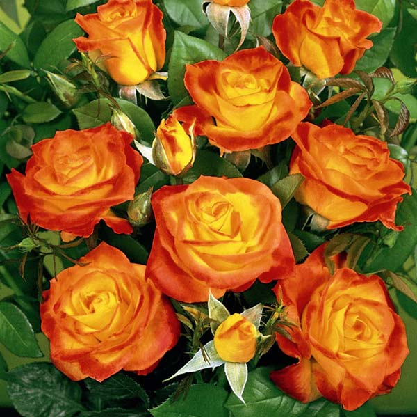 Роза флорибунда (Rumba), цена 60 000 руб., заказать в Минске - Deal.by (ID# 1344712)