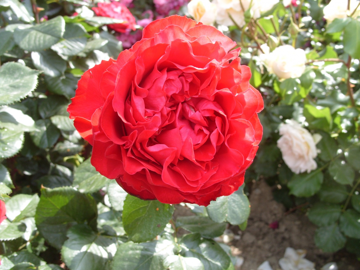 Квадратированный центр цветка у романтической розы Traviata