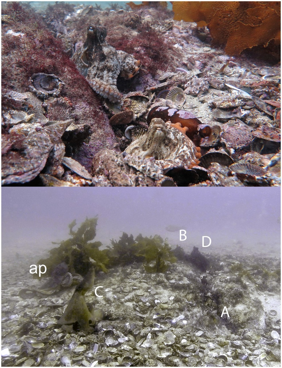 Ученые нашли подводный город осьминогов у берегов Австралии
