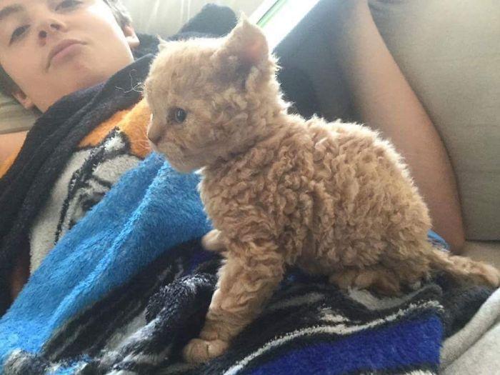 История происхождения кудрявого котеночка взбудоражила Сеть. Такие и правда существуют?