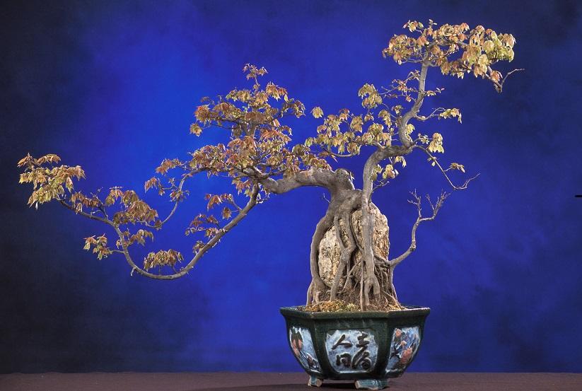 Стили бонсай. Сёкидзедзю. Фото