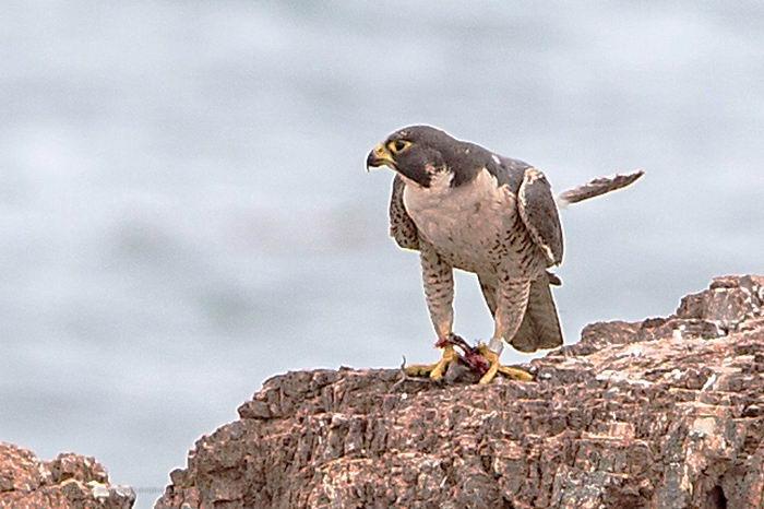 Сапсан  – самая быстрая птица на планете