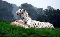 Белые тигры 39