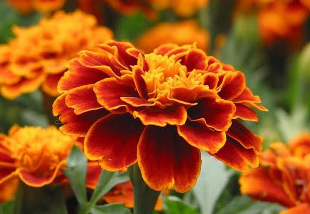 Бархатцы — чай с одним цветком способен «вытянуть» 100 болезней!