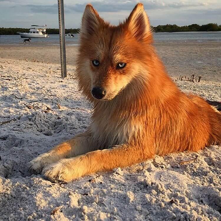 Помски: необычная собака-лиса сводит с ума интернет-пользователей