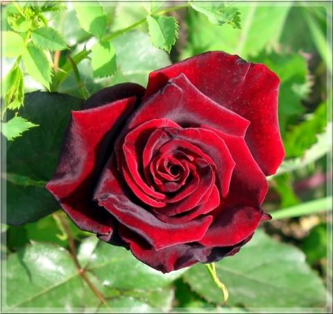 """""""13 причин, почему розы погибают"""""""