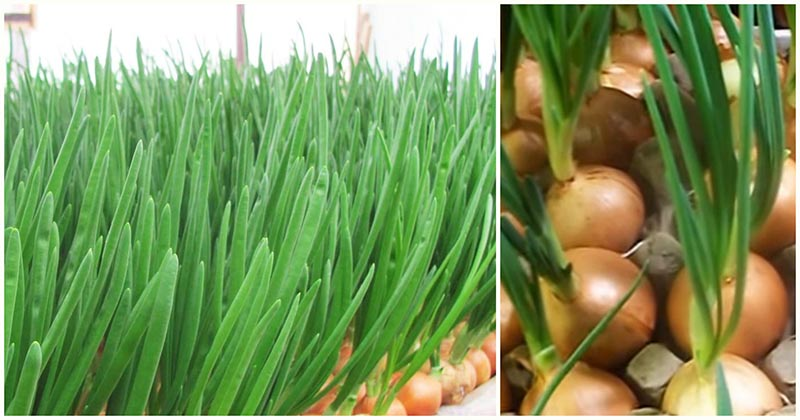 Гениально простой способ выращивания зелёного лука без земли