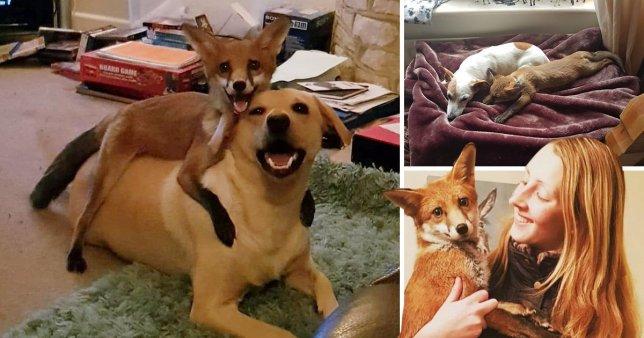 Девушка вырастила дикого лисенка вместе со своими собаками