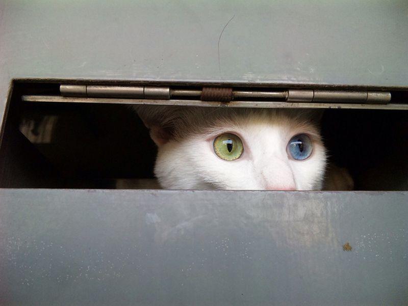 Heterochromia01 Разноглазые кошки