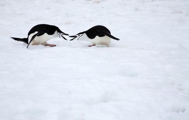 антарктических пингвинов... антарктида, вопрос, ответ