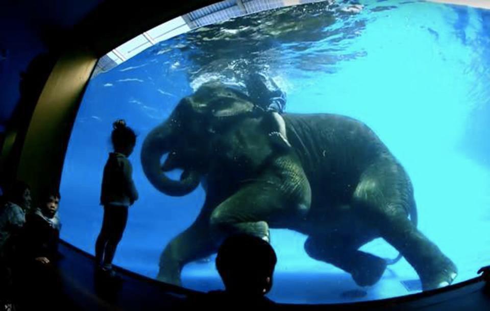 """Туристы приходят посмотреть на """"подводных"""" слонов, не зная жестокой правды"""