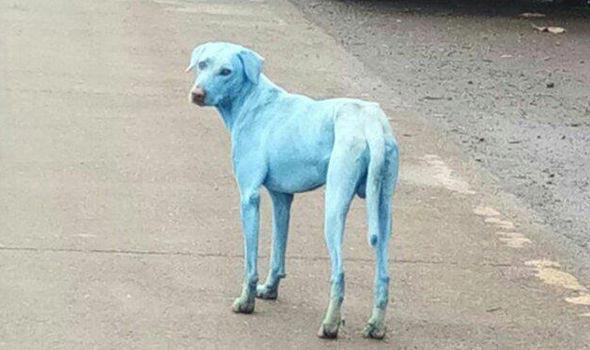 В Индии были найдены ярко-голубые собаки и вот как это произошло