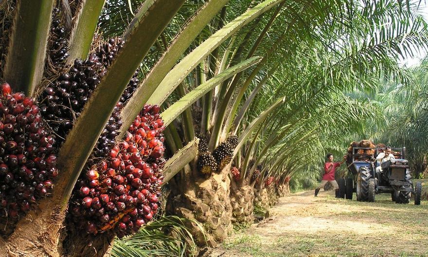 Пальмовое масло: аргументы «за» и «против» его использования