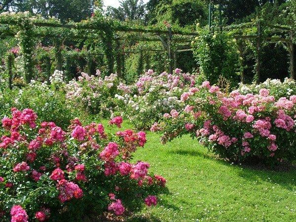 Красивый розарий – невероятно эффектный элемент сада