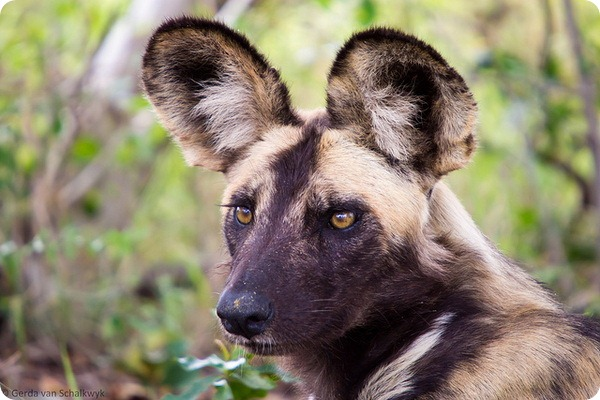 Гиеновидная собака (African Painted)