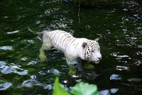 Белые тигры 11