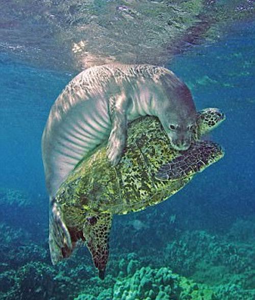 Тюлень трогательно обнимает черепаху, попавшую в большую беду