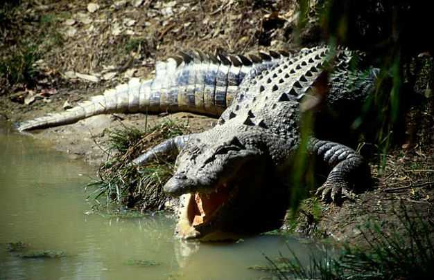 Пенсионерка прыгнула в пруд с тысячей крокодилов