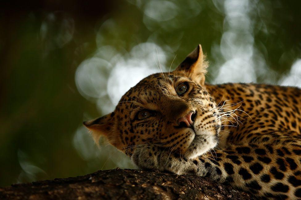 Отдыхающий леопард и прочее зверье малой и большое - лучшие фото конкурса дикой природы