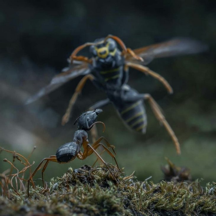 Как муравьи уничтожают гнездо ос