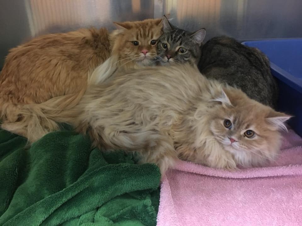 3 породистых кота были найдены у двери зоомагазина… с запиской! И вот что написал бывший владелец