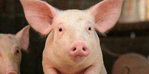 Подложили «свинью» – платите!