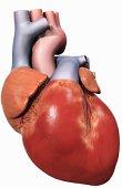 Возродить 'изношенное' сердце удалось американским учёным