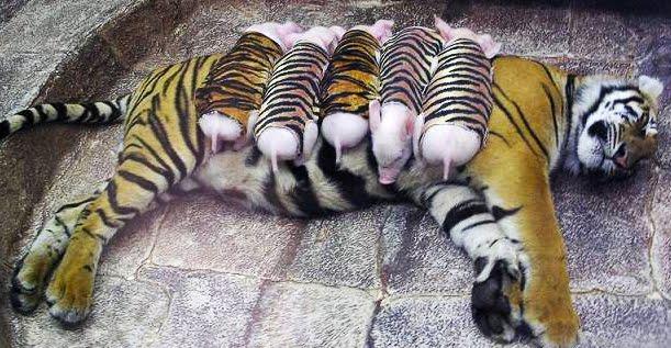 Детеныши этой тигрицы ушли и…