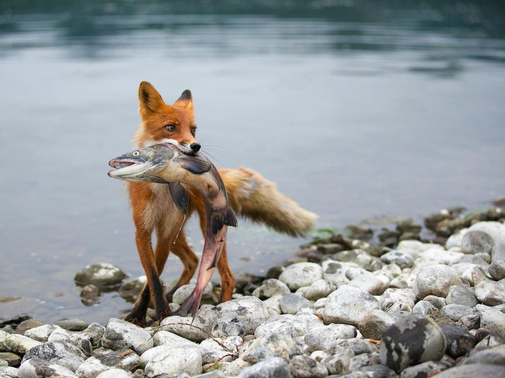 Существует мнение, что основная еда лис – зайцы.