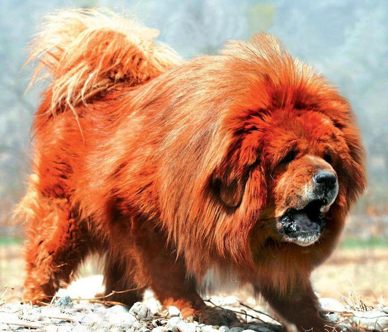 Самая дорогая собака и самая большая