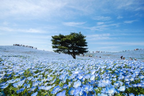 Приморский парк Хитачи расцвёл голубым цветом (13 фото)