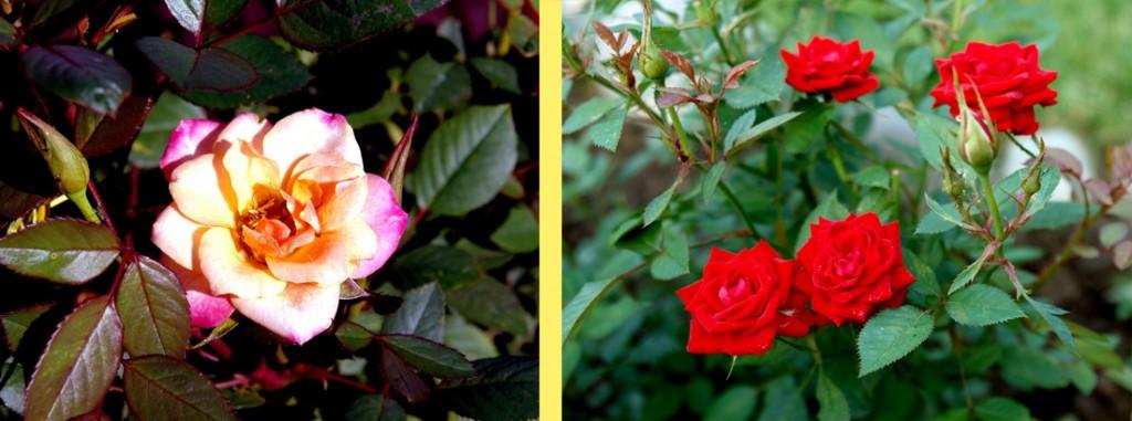 Открыли розы черные пятна на стеблях что это