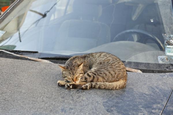 Кот - попутчик ненадежный
