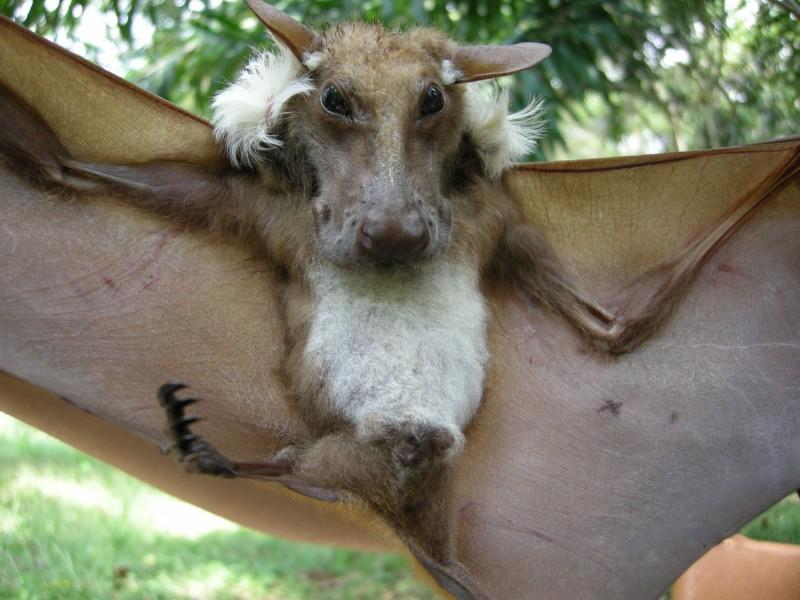 Африканского крылана с выразительной мордочкой приняли за фотошоп