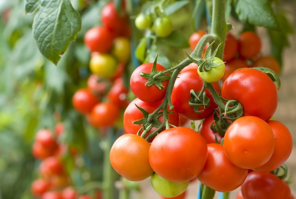 Как получить хороший урожай помидоров  - 5 ошибок огородников