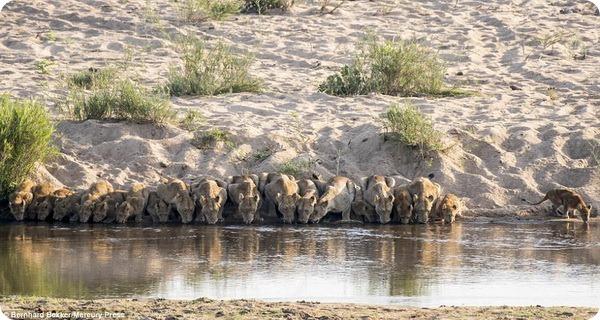 Уникальные кадры: Двадцать львов пришли на водопой
