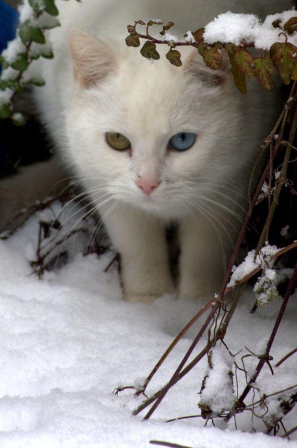 Heterochromia30 Разноглазые кошки