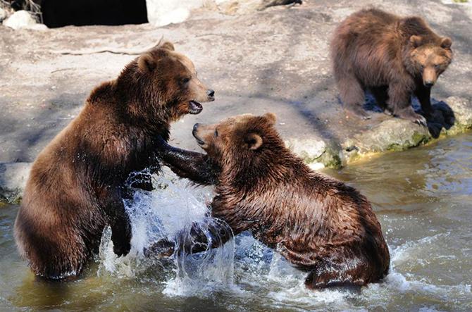 Камчатские бурые медведи дерутся в